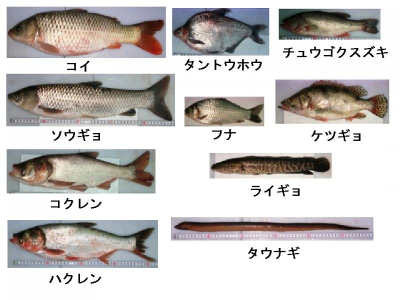 図1 研究に用いた中国産 ... : 日本図 : 日本